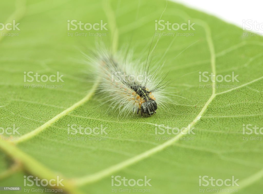 Fluffy caterpillar crawling on leaf royalty-free stock photo