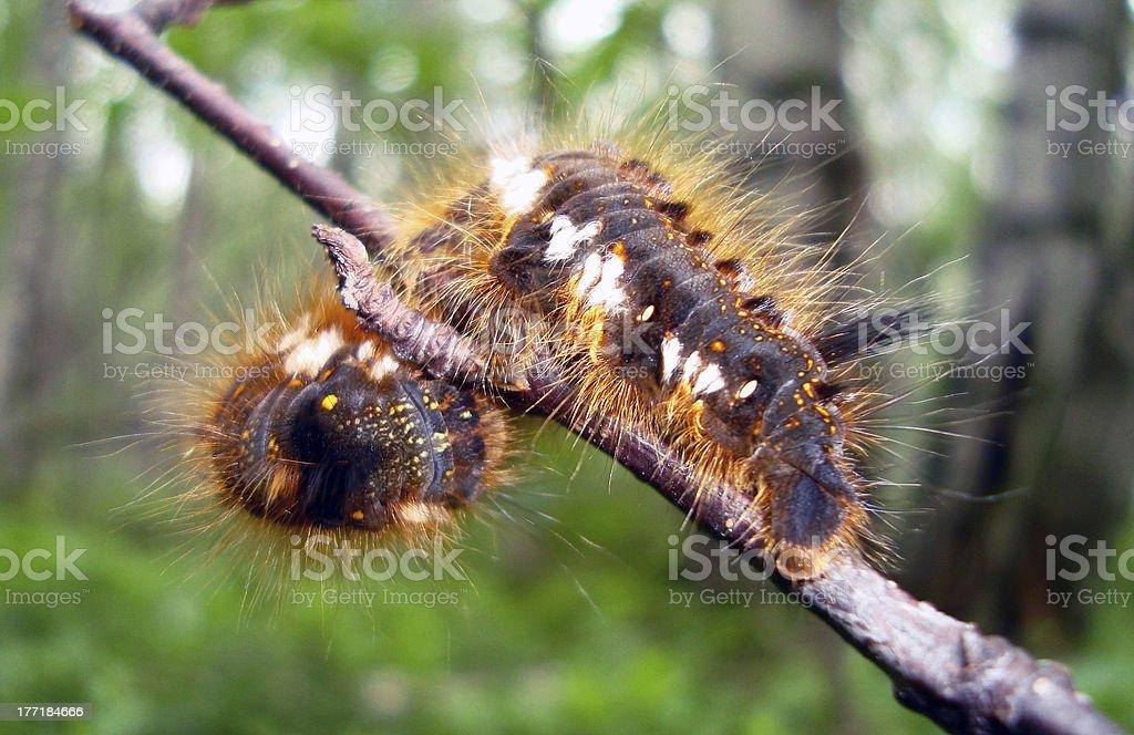 fluffy caterpillar stock photo