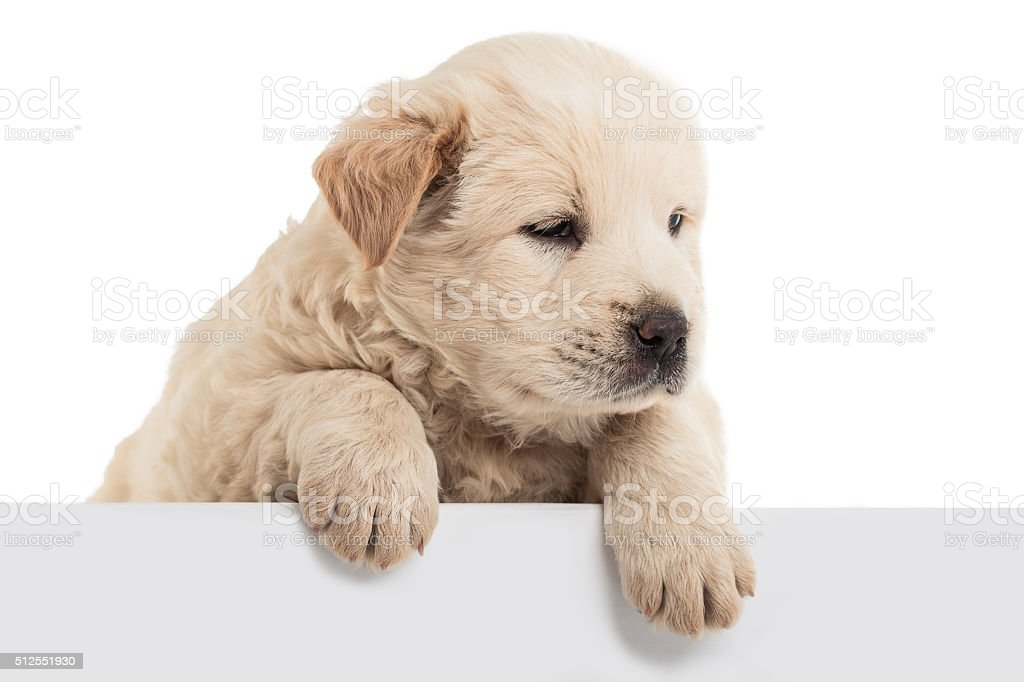 Fluffy Chow-chow puppy stock photo