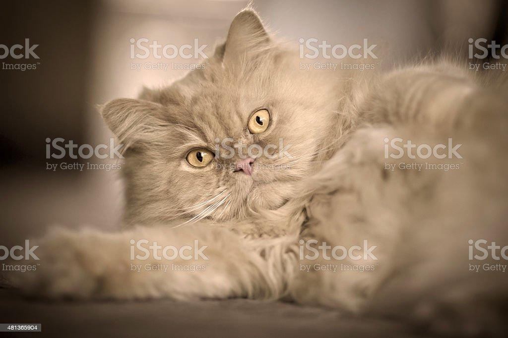 Fluffy cute orange/blonde persian cat stock photo