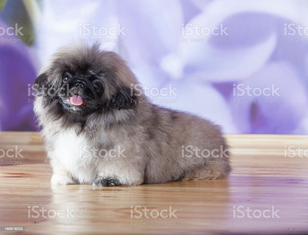 Fluffy cute puppy with tongue out stock photo