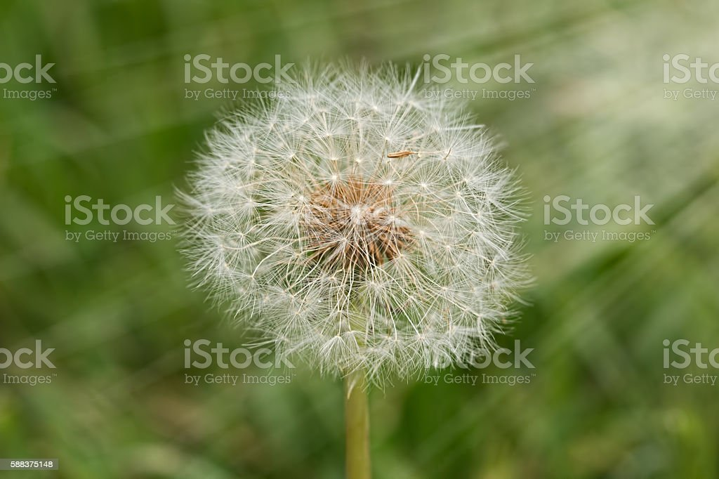 fluffy dandelion flower with seeds stock photo