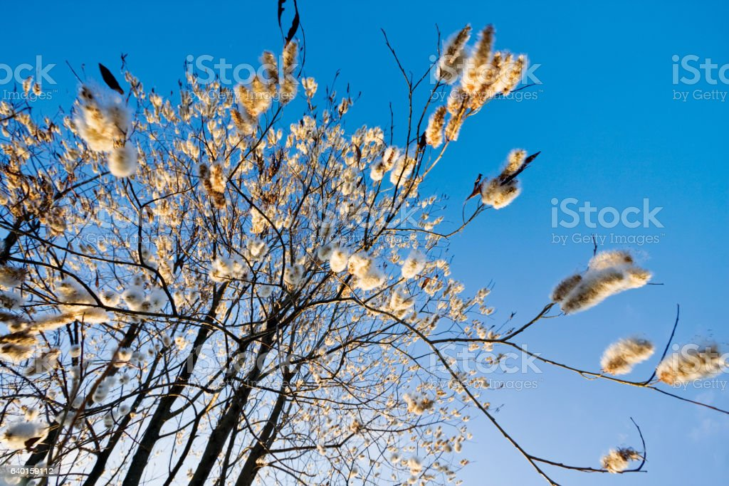 Fluffy ear rings of a goat willow flutter in spring. stock photo