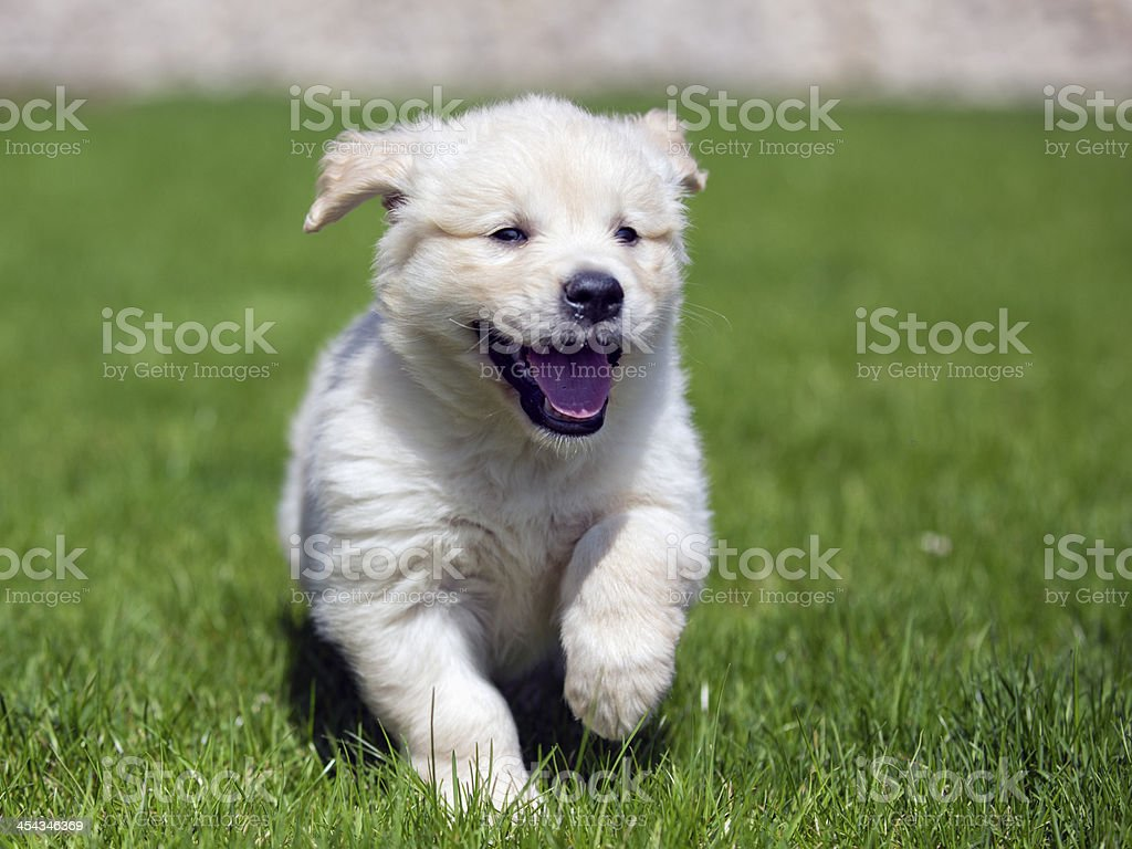 Fluffy golden retriever puppy running royalty-free stock photo
