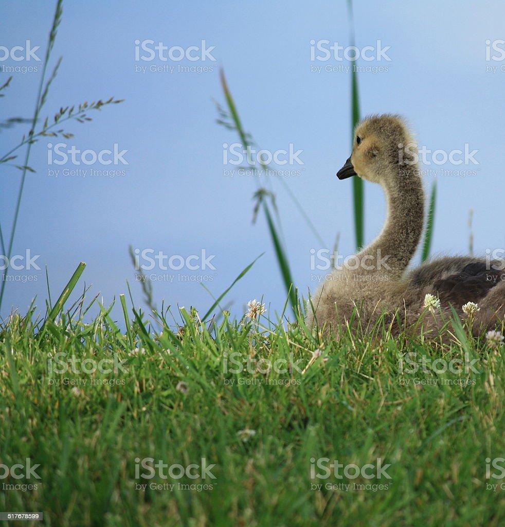 Fluffy Gosling stock photo