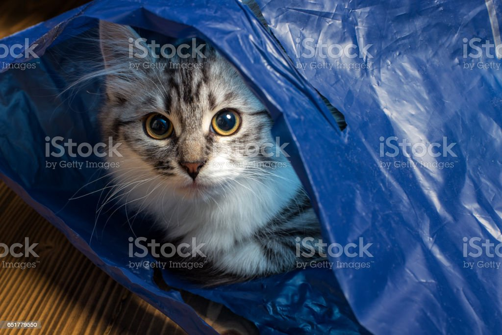 fluffy gray cat in a blue bag stock photo