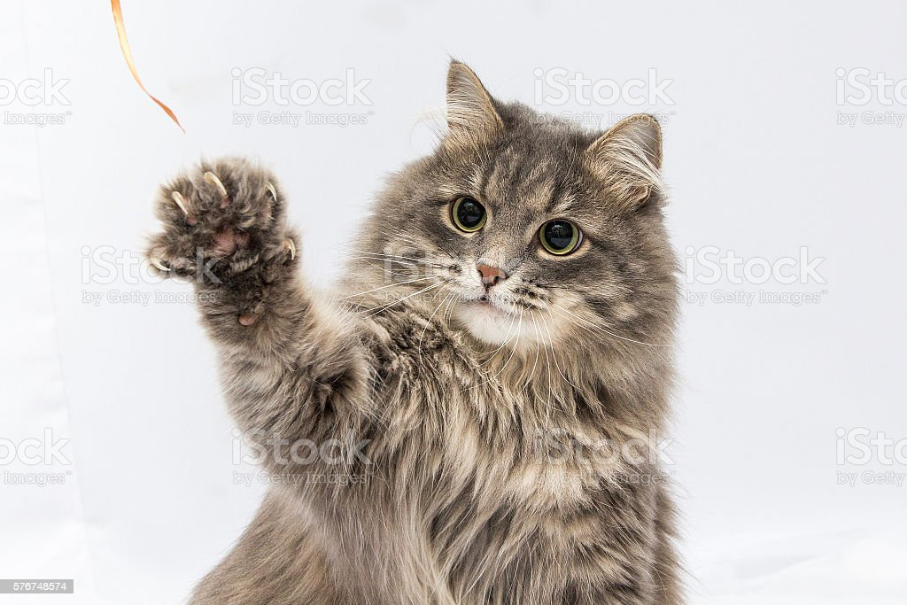 Fluffy gray cat stock photo