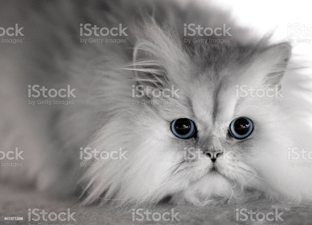 fluffy gray cat portrait stock photo