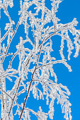 Fluffy hoarfrost on the branches against the blue sky