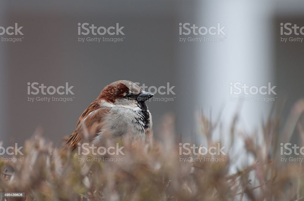 fluffy house sparrow male protecting his territory royalty-free stock photo