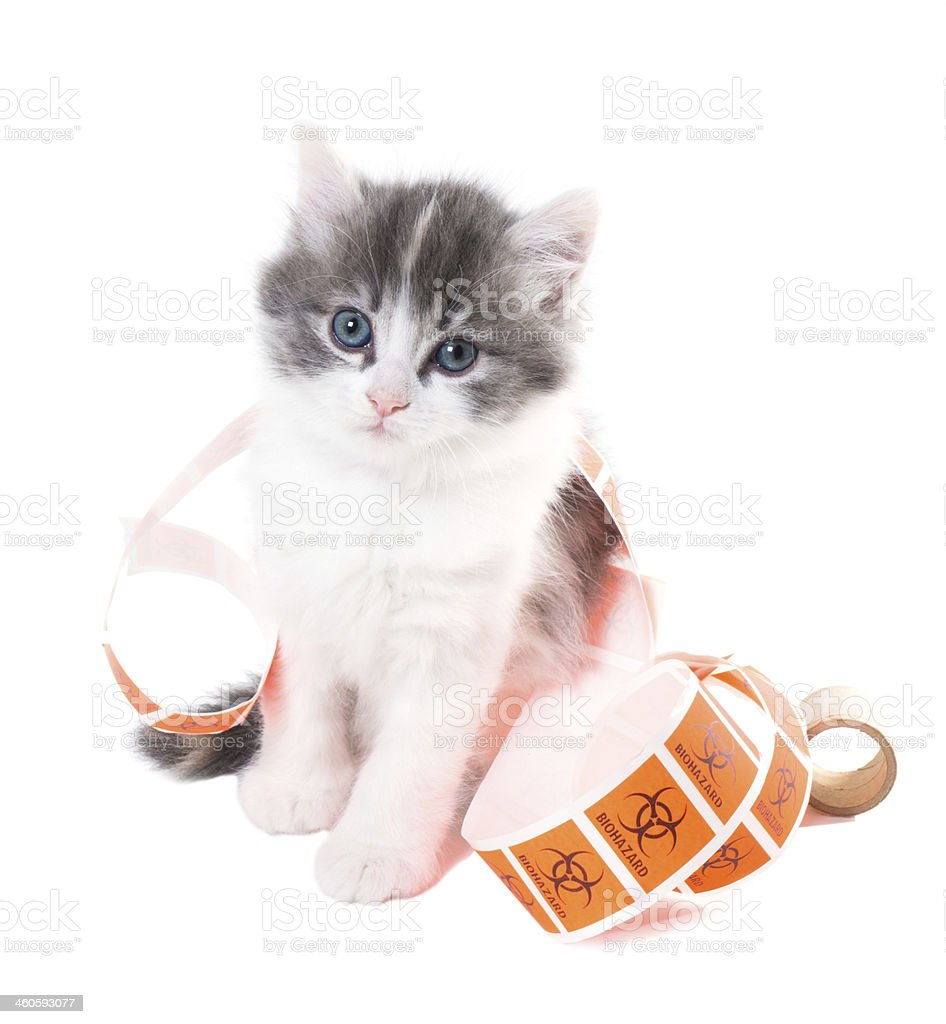 Fluffy kitten  blue eyes playing with stickers 'Biohazard' royalty-free stock photo