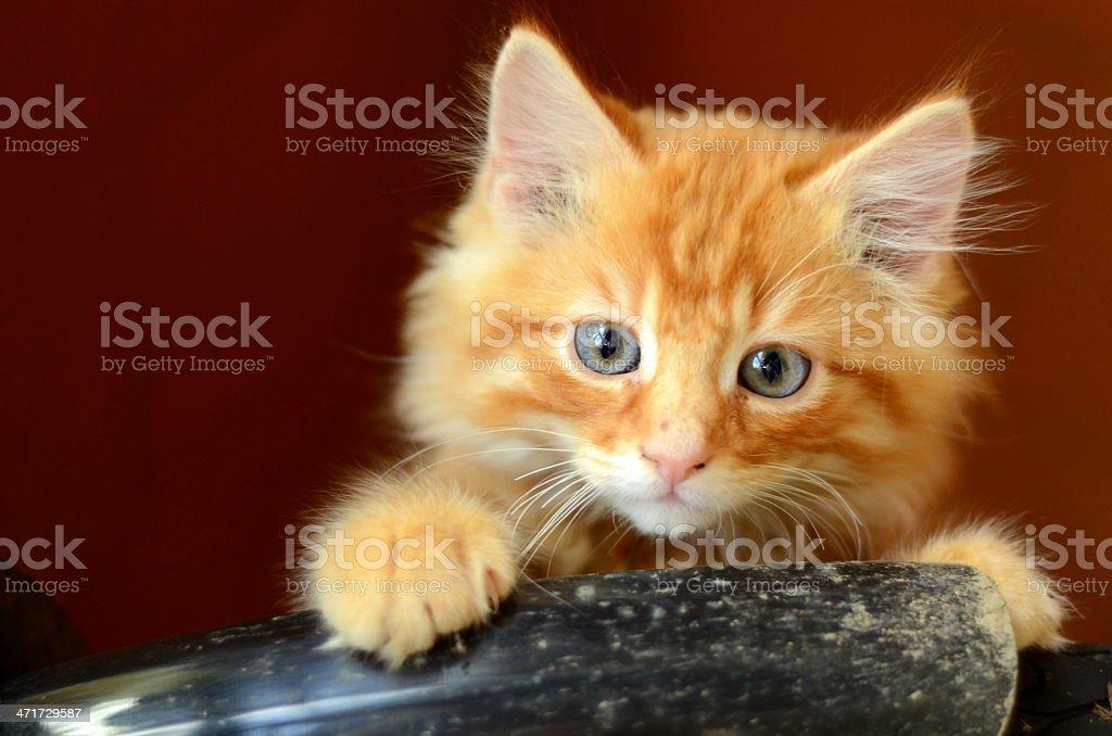 Fluffy Kitten royalty-free stock photo