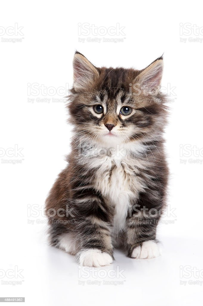 Fluffy kitten sitting  (isolated on white) stock photo