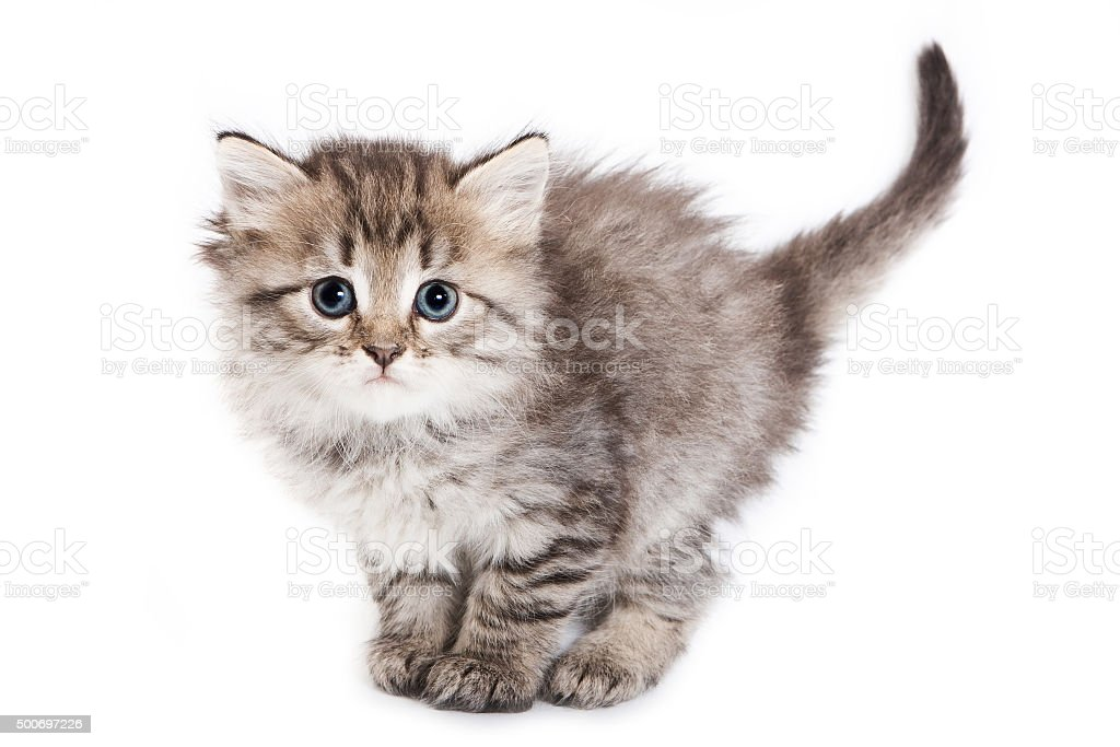 Fluffy kitten stands with a large tail stock photo