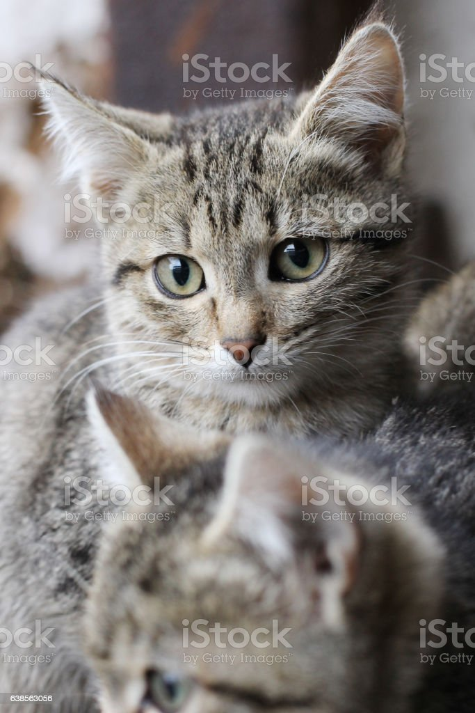fluffy kittens stock photo
