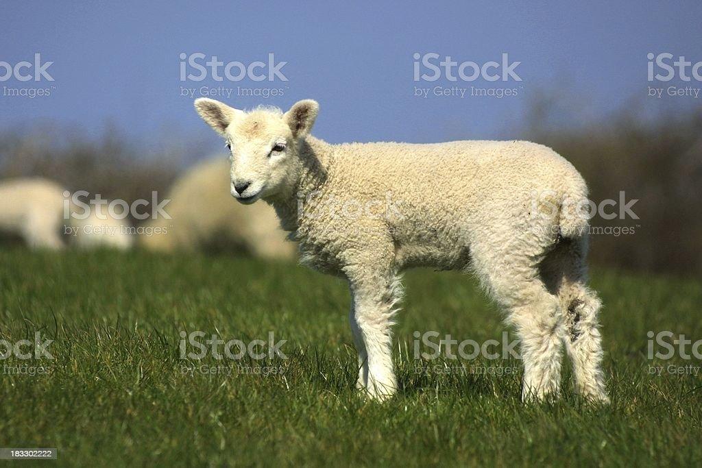 Fluffy Lamb royalty-free stock photo