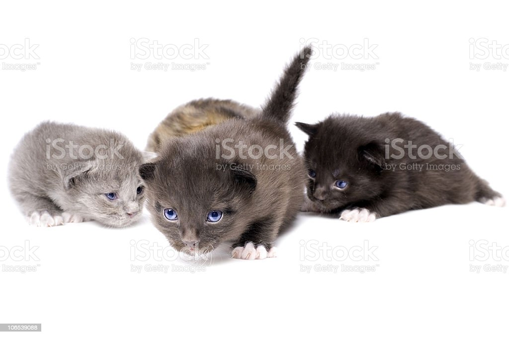 fluffy little kittens royalty-free stock photo