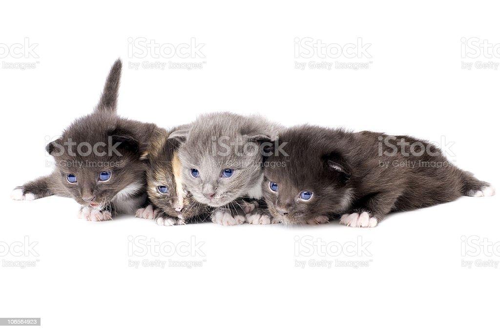 fluffy little kittens royalty-free stock photo