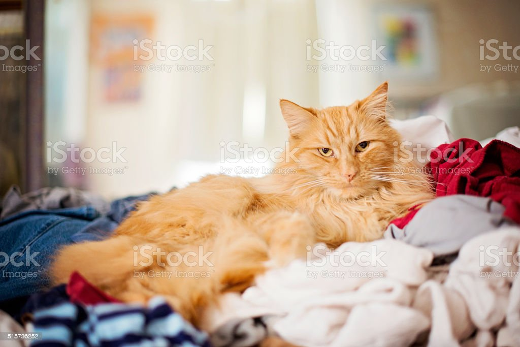 Fluffy Orange Cat sits on a pile of laundry stock photo