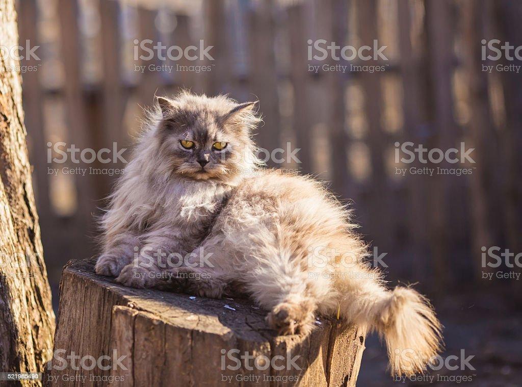 Fluffy persian cat stock photo