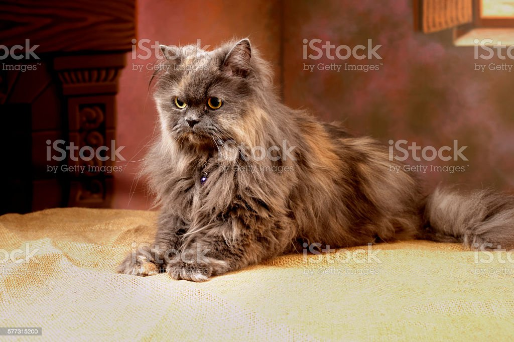 Fluffy persian cat posing for a studio shooting stock photo