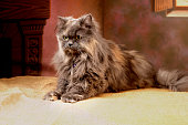Fluffy persian cat posing for a studio shooting