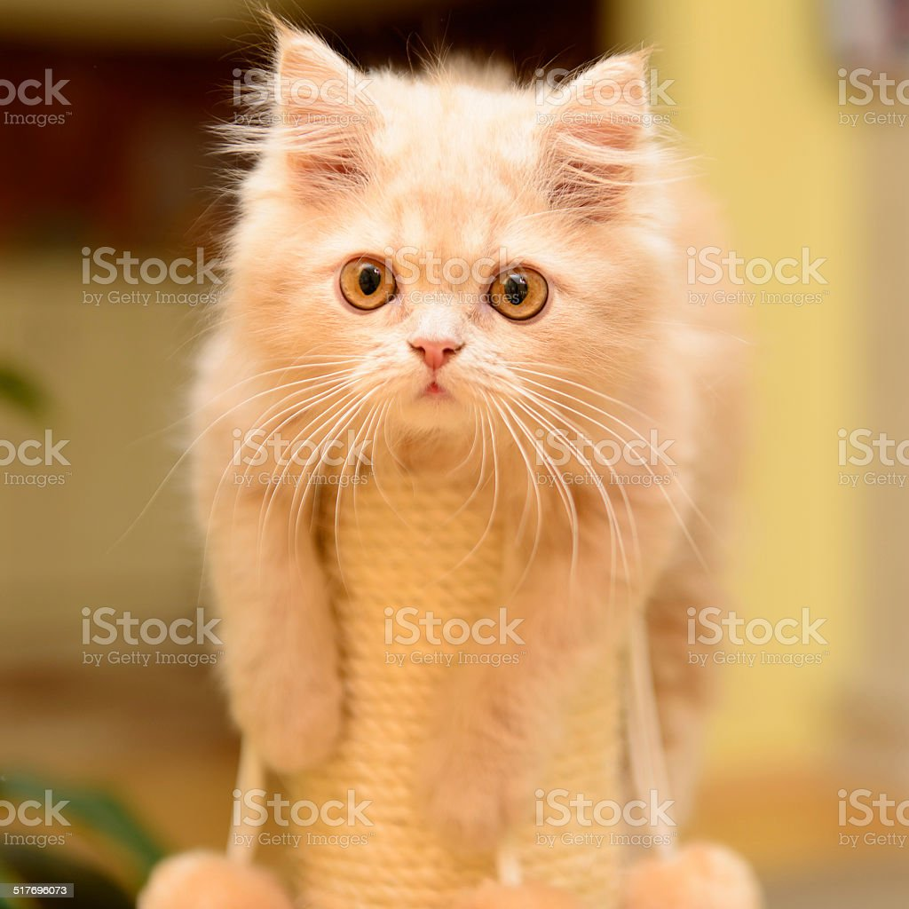 fluffy Persian kitten stock photo