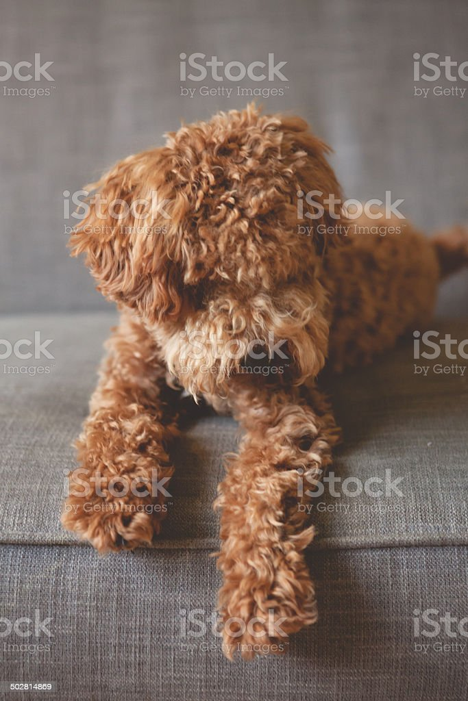 fluffy puppy royalty-free stock photo