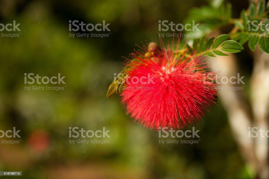 Fluffy red bloom of tropical Calliandra tree on Cuba. stock photo