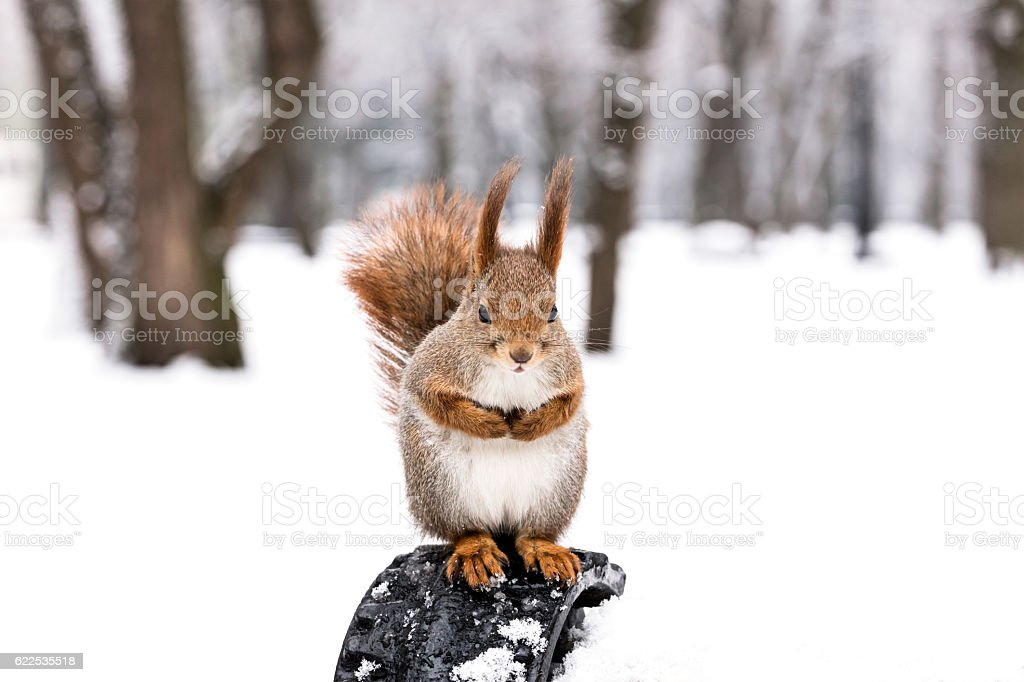 fluffy red squirrel sitting on bench in winter park stock photo