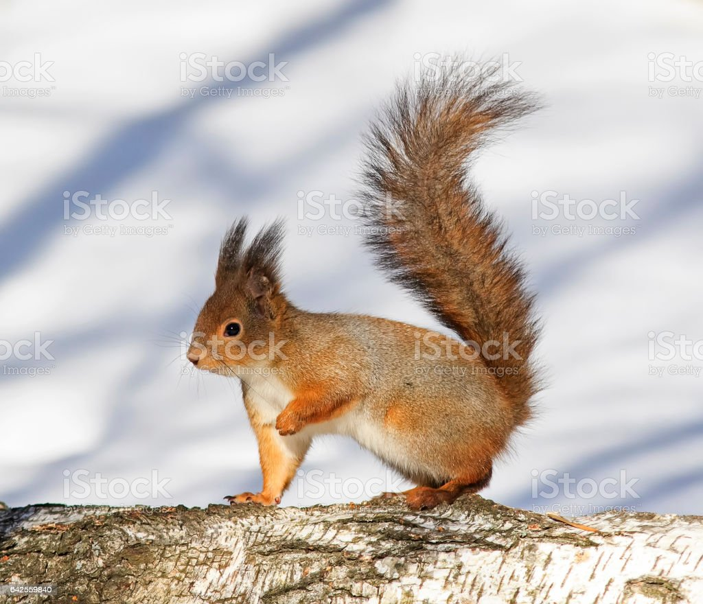 fluffy red-haired squirrel on the tree in Park at winter stock photo