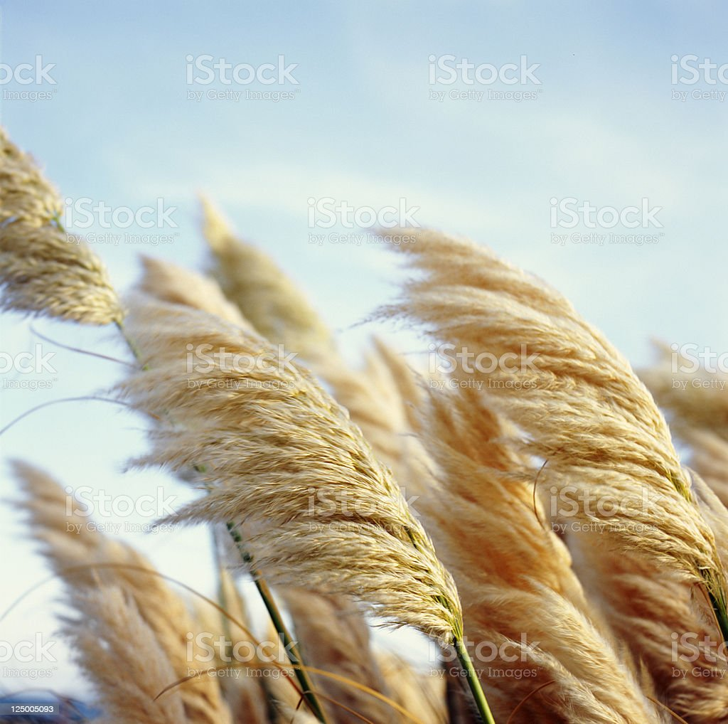 Fluffy reed - Soft beautiful plants in the wind stock photo