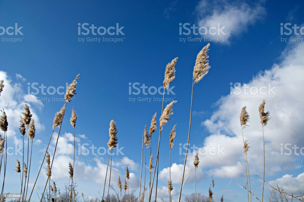 Fluffy reeds against the Cloudy sky stock photo