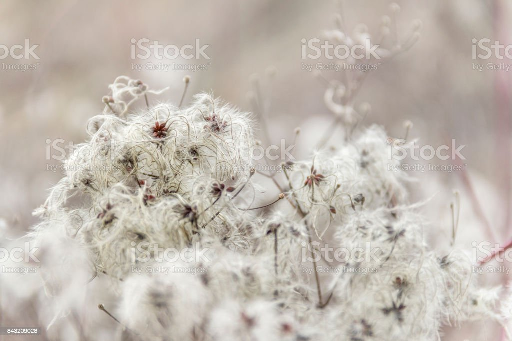 fluffy seed closeup stock photo