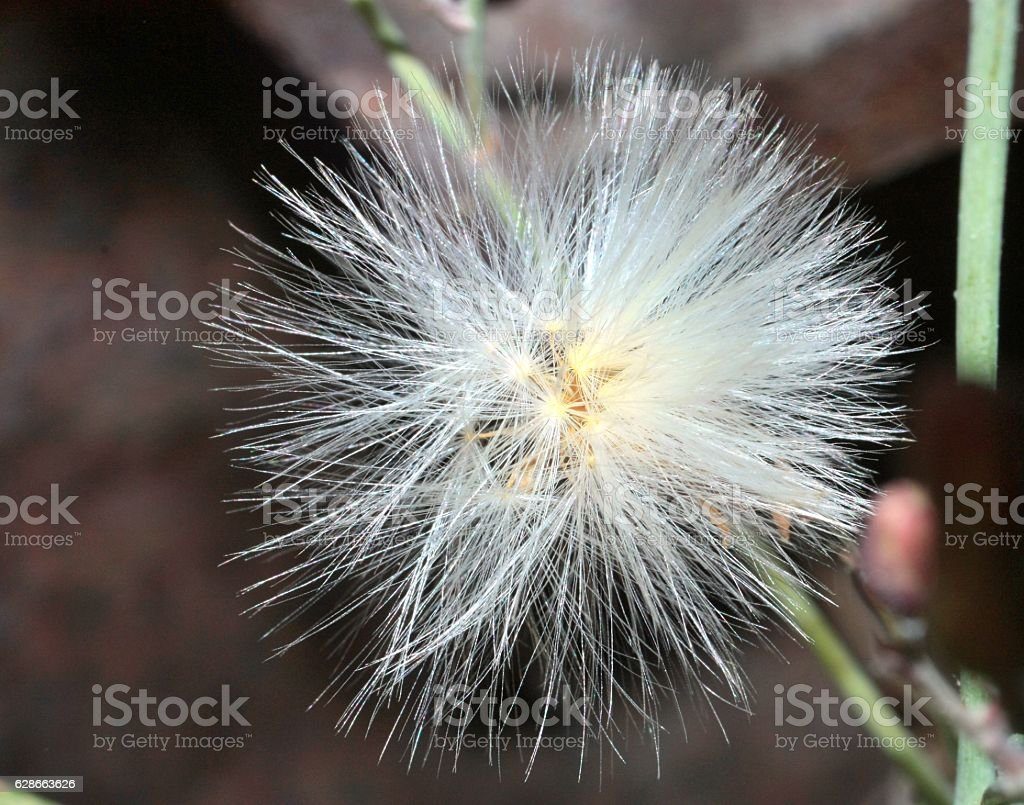 fluffy seeds of wild plants stock photo