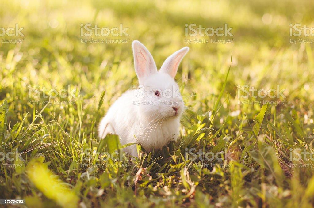 Fluffy white baby bunny stock photo