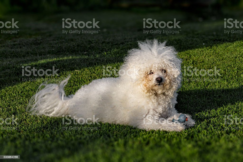 Fluffy white dog playing with a rubber duck stock photo