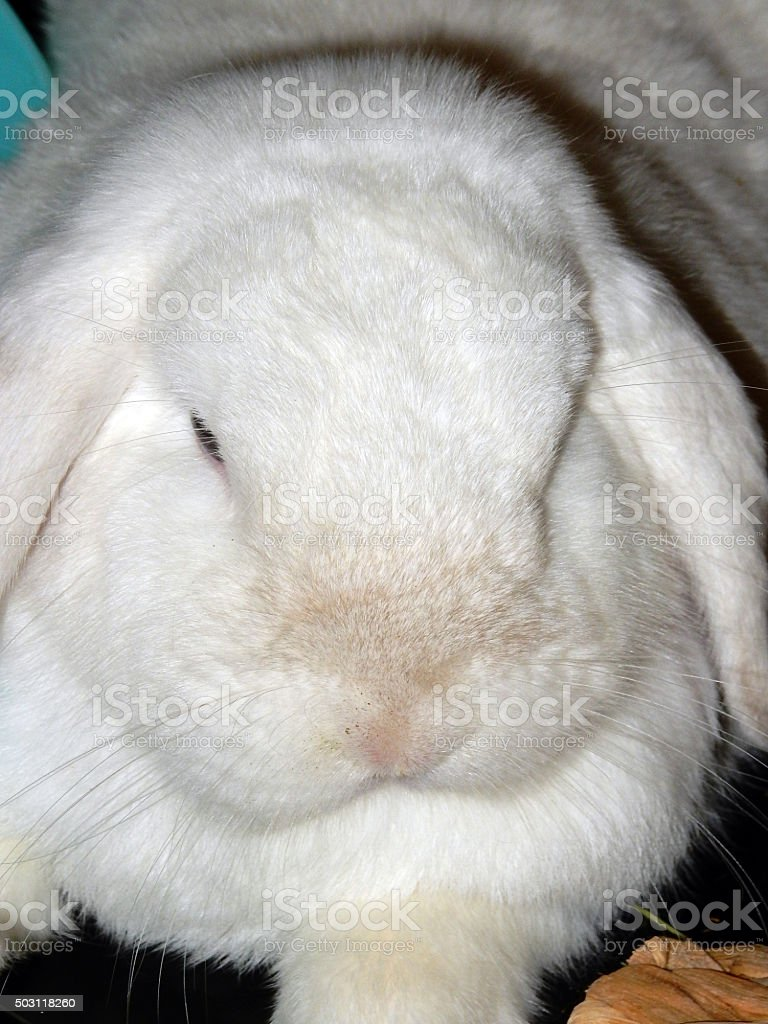 Fluffy white lop-eared rabbit royalty-free stock photo