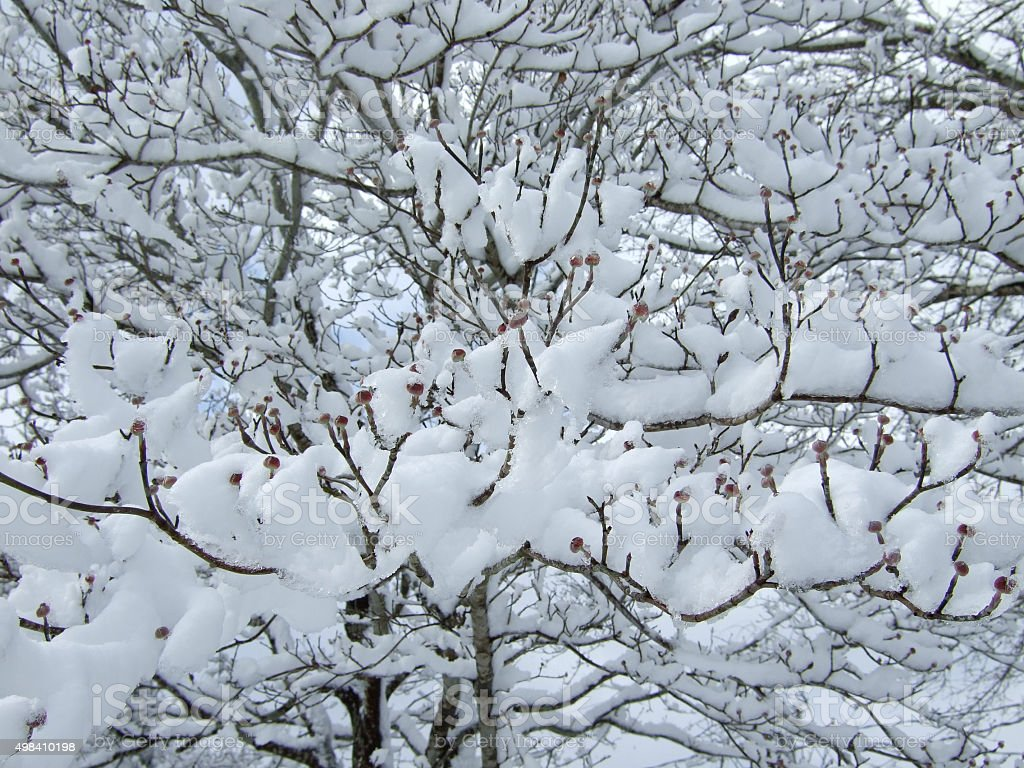 Fluffy White Snow accumulated on Dogwood tree Branches buds stock photo