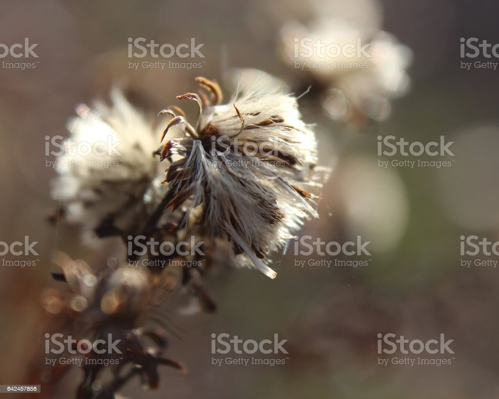 Fluffy Winter Seed Heads stock photo
