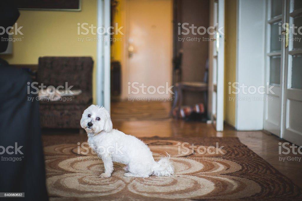 Flufy poodle stock photo