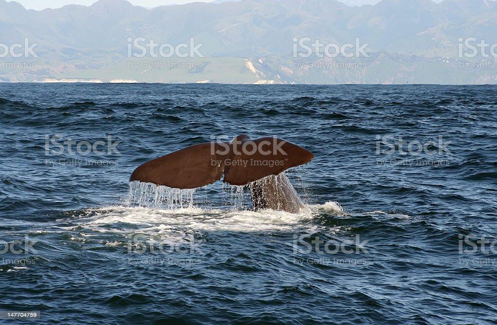 Fluke of a Sperm Whale in Kaikoura royalty-free stock photo