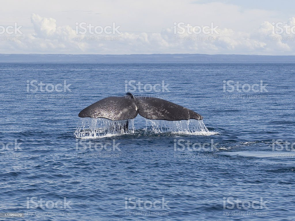 Fluke of a Sperm Whale (Physeter catodon) stock photo