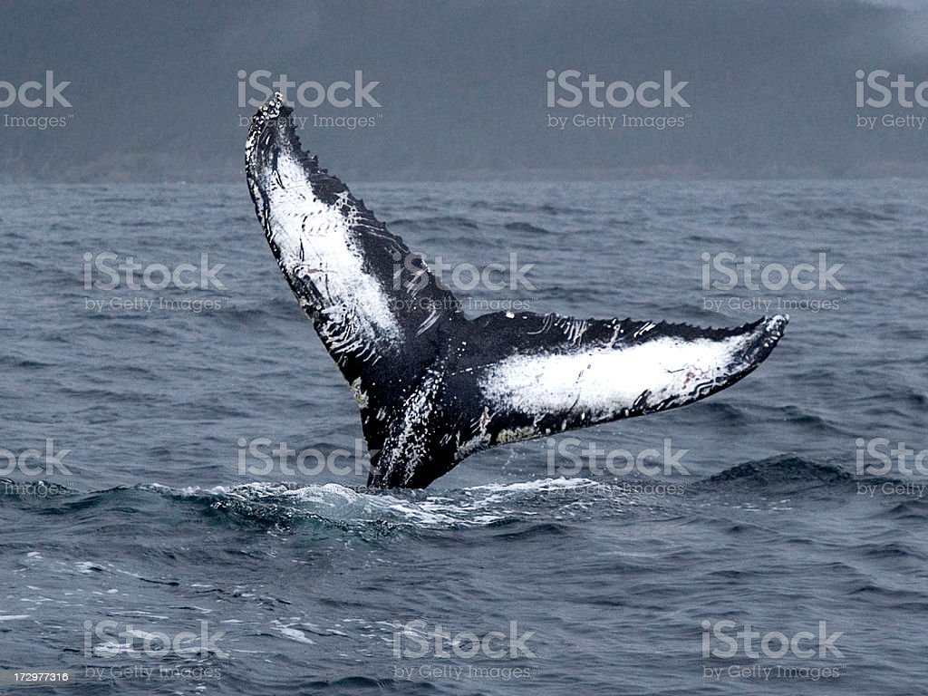 Fluke with wounds inflicted by Orcas stock photo