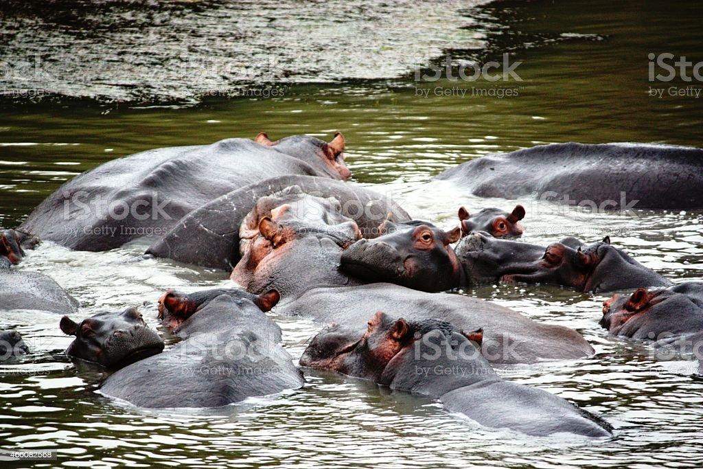 Flusspfere in St. Lucia Kwazulu Natal - S?dafrika stock photo
