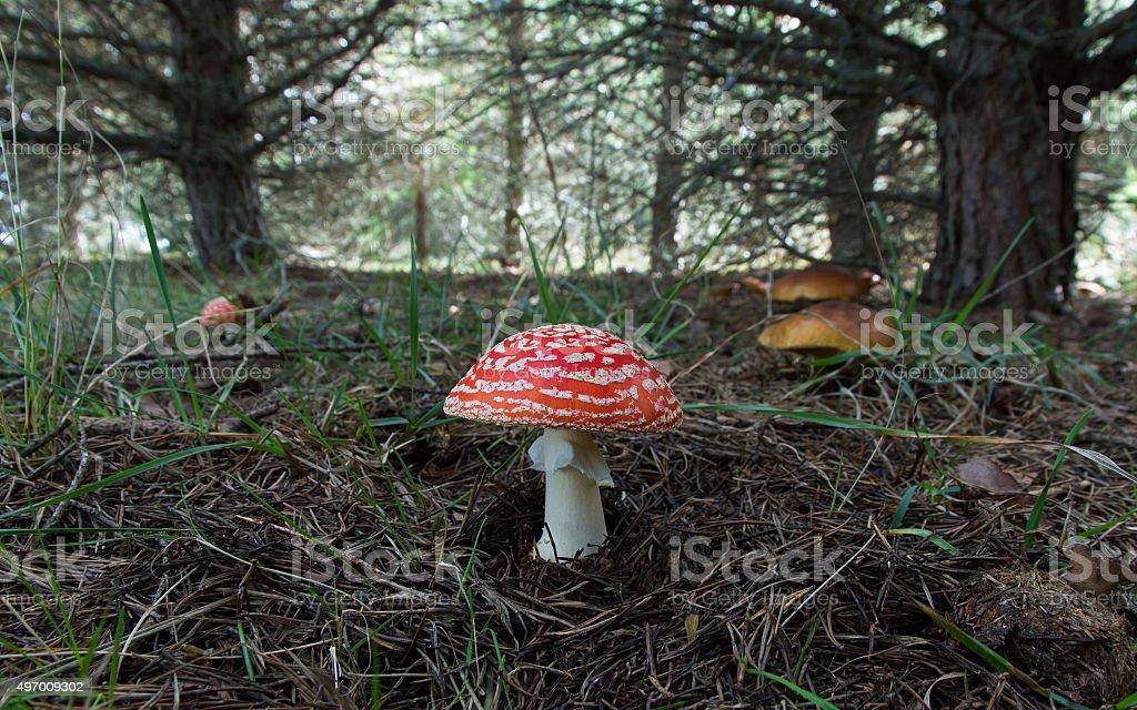 Fly Agaric and Boletus mushrooms in Pine - Setas Amanitas stock photo