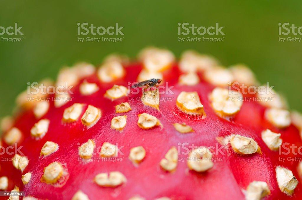 Fly agaric cap. Closeup. Selective focus stock photo