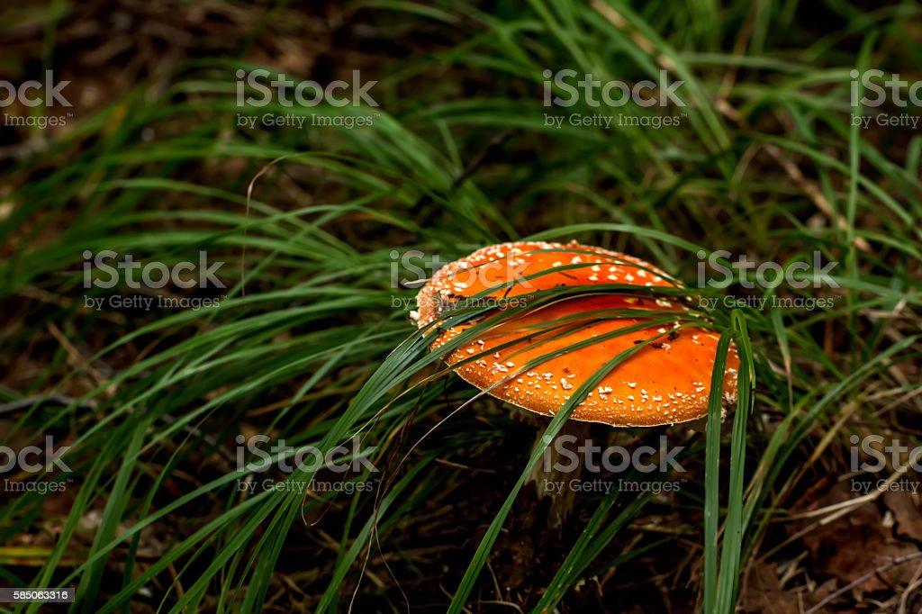 Fly agaric. Forest mushroom. stock photo