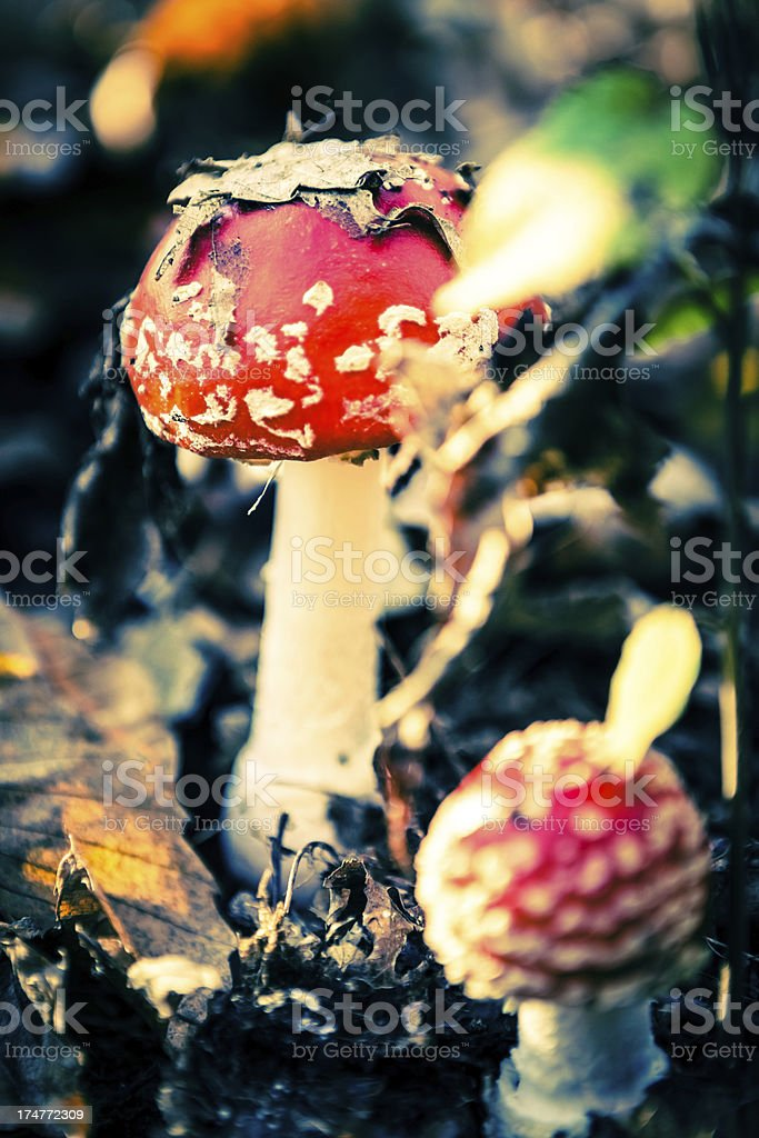 Fly Agaric Fungus, Amanita Muscaria in Forest royalty-free stock photo