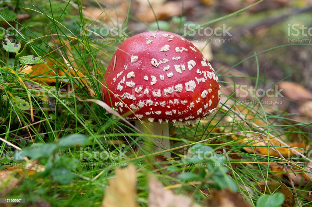 fly agaric in the forest stock photo